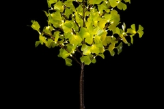 4' Battery Operated Green Ginkgo White Lights ONLY